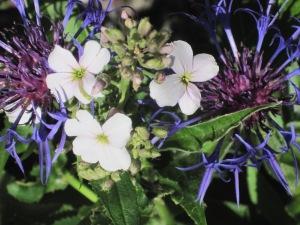 paars voorjaar 003