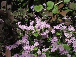 paars voorjaar 021