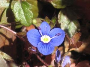 paars voorjaar 036